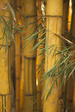 Bamboo II Photographic Print by Karyn Millet