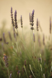 Lavender I Photographic Print by Karyn Millet