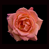 Peach Rose Photographic Print by Lee Peterson