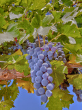 Cougar Winery Grapes II Photographic Print by Lee Peterson