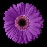 Purple Gerbera Daisy Fotografisk tryk af Jim Christensen