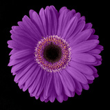 Purple Gerbera Daisy Photographic Print by Jim Christensen