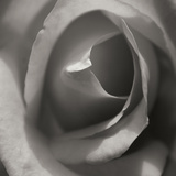 Single Rose Square Photographic Print by Scott Larson