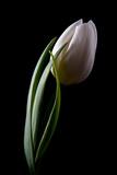 Tulips III Impressão fotográfica por C. McNemar