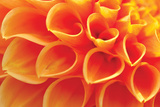 Orange Funnel Dahlia Photographic Print by Dana Styber