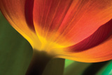 Tulip Up Close II Photographic Print by Lee Peterson