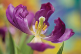 Purple Tulip I Photographic Print by Lee Peterson
