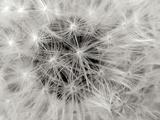 Dandelion 2 Fotografisk tryk af Jim Christensen