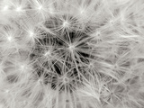 Dandelion 2 Photographic Print by Jim Christensen