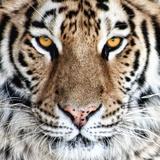Bengal Tiger Eyes Fotografisk trykk av C. McNemar