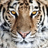 Bengal Tiger Eyes Photographic Print by C. McNemar