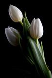 Tulipanes IV Lámina fotográfica por C. McNemar