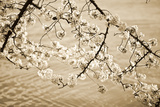 Sepia Cherry Blossoms II Photographic Print by Bob Stefko