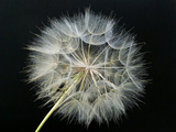Goat's Beard 2 Photographic Print by Jim Christensen