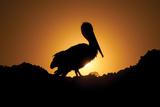 Pelican Silhouette I Photographic Print by Erin Berzel