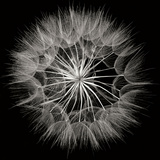 Goat's Beard 5 Photographic Print by Jim Christensen