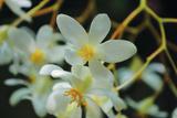 White Orchids I Fotografiskt tryck av Brian Moore