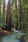Redwood Forest III Photographic Print by Rita Crane
