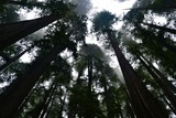 Redwoods I Photographic Print by Brian Moore