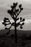 Yucca Brevifolia I Photographic Print by Erin Berzel