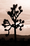 Yucca Brevifolia II Photographic Print by Erin Berzel