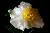 White Peony III Photographic Print by Tammy Putman