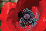 Red Poppy II Photographic Print by Brian Moore