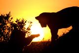 Lion Cub Morning Photographic Print by Susann Parker