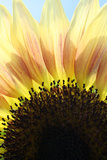 Sunflower V Photographic Print by Tammy Putman