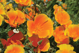 Orange Flowers Photographic Print by Brian Moore