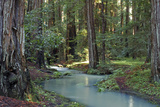 Redwood Forest I Photographic Print by Rita Crane