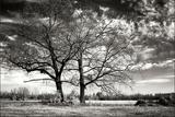 Roseville Oaks BW Photographic Print by Alan Hausenflock