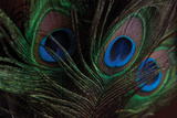 Peacock Feathers 1 Photographic Print by Erin Berzel