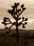 Yucca Brevifolia III Photographic Print by Erin Berzel