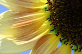 Sunflower III Photographic Print by Tammy Putman