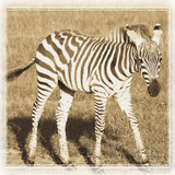 Young Africa Zebra Reproduction photographique par Susann Parker
