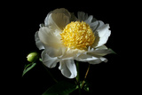 White Peony I Photographic Print by Tammy Putman