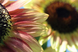 Sunflower II Photographic Print by Tammy Putman