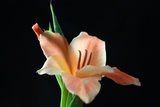 Peach Lily Photographic Print by Tammy Putman