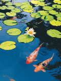 Koi Pond II Photographic Print by Maureen Love