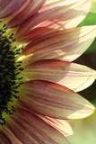Sunflower IV Photographic Print by Tammy Putman