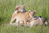 Pride of a Lioness Photographic Print by Susann Parker