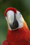 Scarlet Feather Photographic Print by Susann Parker