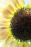Sunflower VI Photographic Print by Tammy Putman