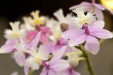 Orchid Chorus Photographic Print by Dana Styber