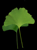 Green Leaves 4 Photographic Print by Vitaly Geyman