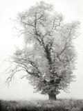 Misty Oak I B&W Photographic Print by Vitaly Geyman