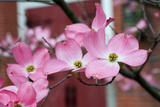 Dogwood Blossoms II Photographic Print by Erin Berzel