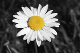 Morning Daisy I Photographic Print by Vitaly Geyman