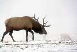Elk IV Photographic Print by Tammy Putman